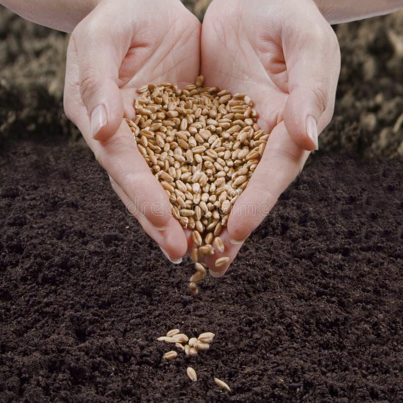 播种麦子 免版税库存照片