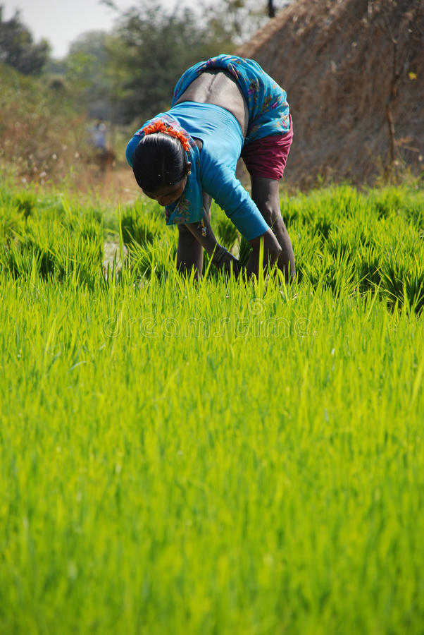 播种稻 免版税图库摄影