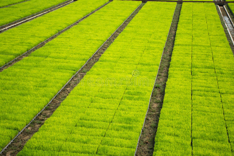 播种cultivest领域的米 库存照片