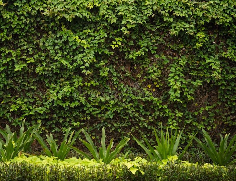 操刀与被拍的绿色藤照片在三宝垄印度尼西亚 免版税库存图片