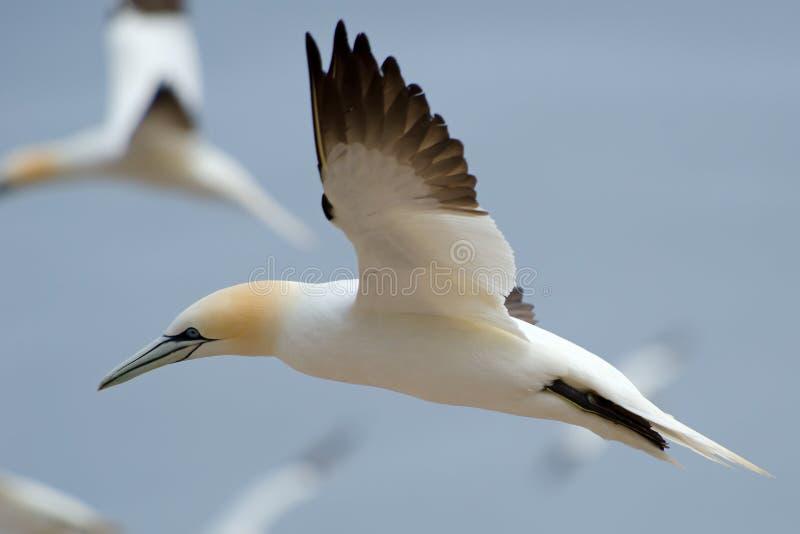 操刀北的gannet 库存图片