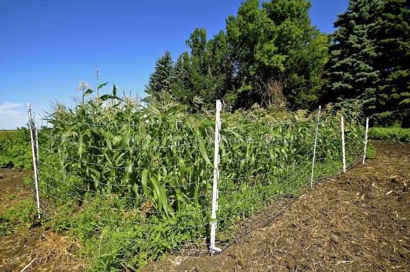 操刀在印第安玉米 免版税库存图片