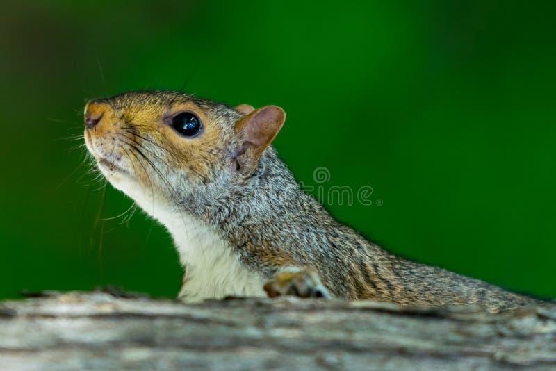 攀登一个树干有绿色bokeh背景,特写镜头的灰鼠 库存图片