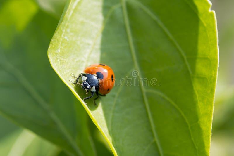 攀登一片绿色叶子的瓢虫的特写镜头照片在一个晴天 免版税库存照片