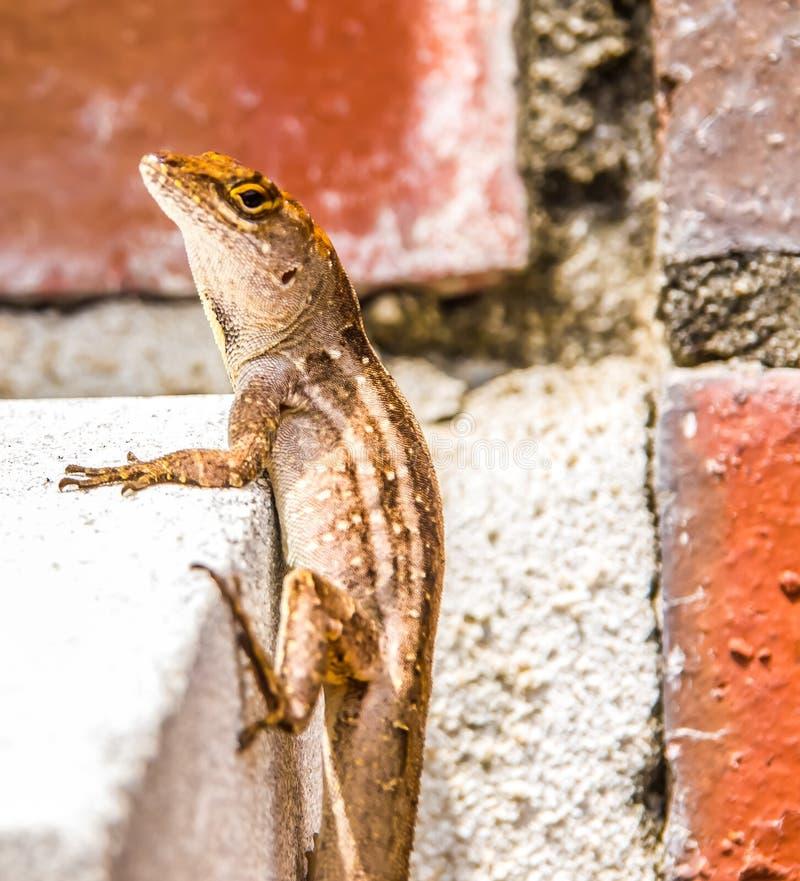 攀登墙壁的蜥蜴 库存图片