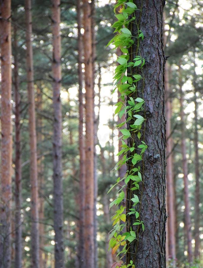 攀登它的杉树前景和弗吉尼亚爬行物 库存图片
