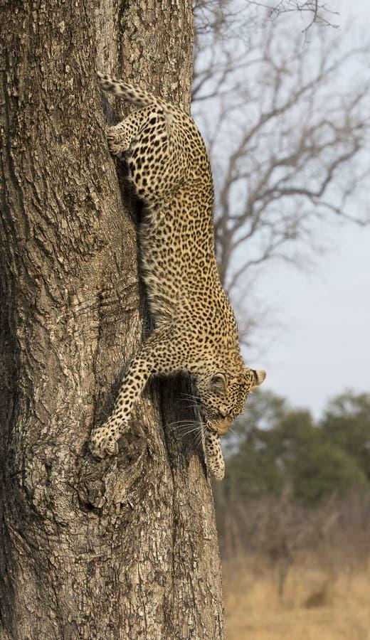 攀登快速的下来的孤立豹子在自然duri的一个高树干 库存图片