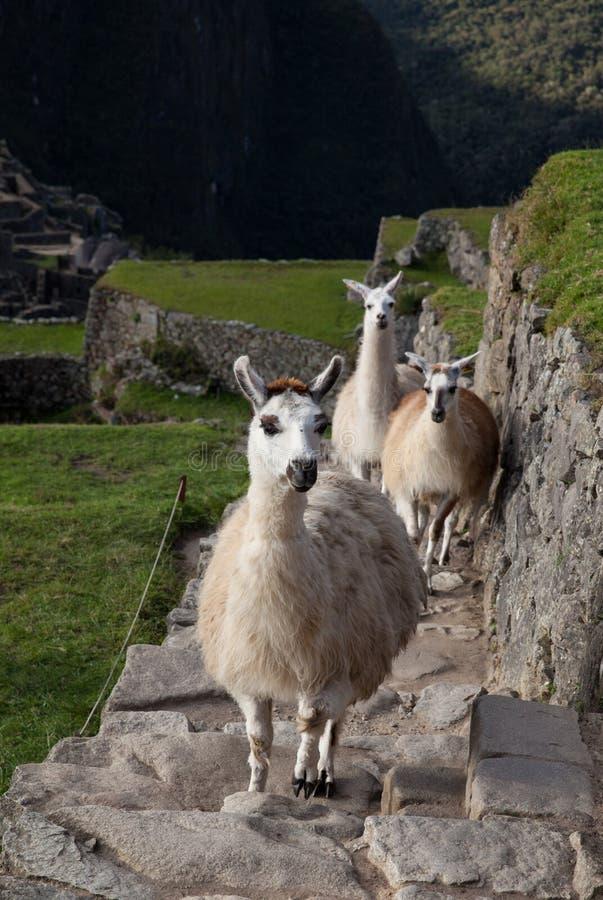 攀登满族的Picchu步的骆马 库存照片