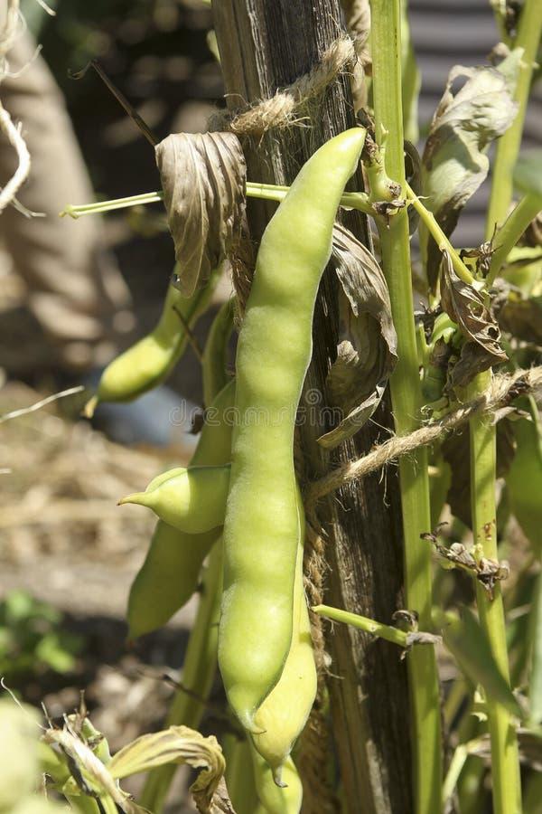 攀缘茎类的豆 免版税库存图片