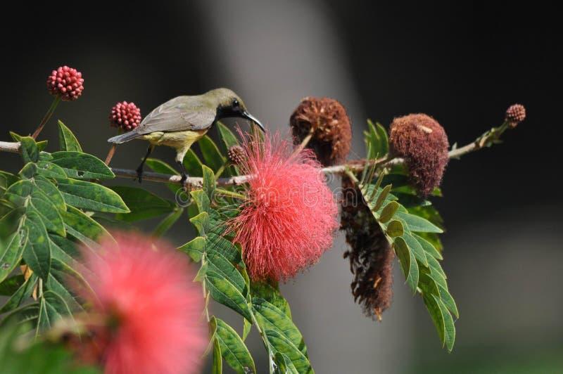 支持橄榄的Sunbird在清迈,泰国 免版税库存图片