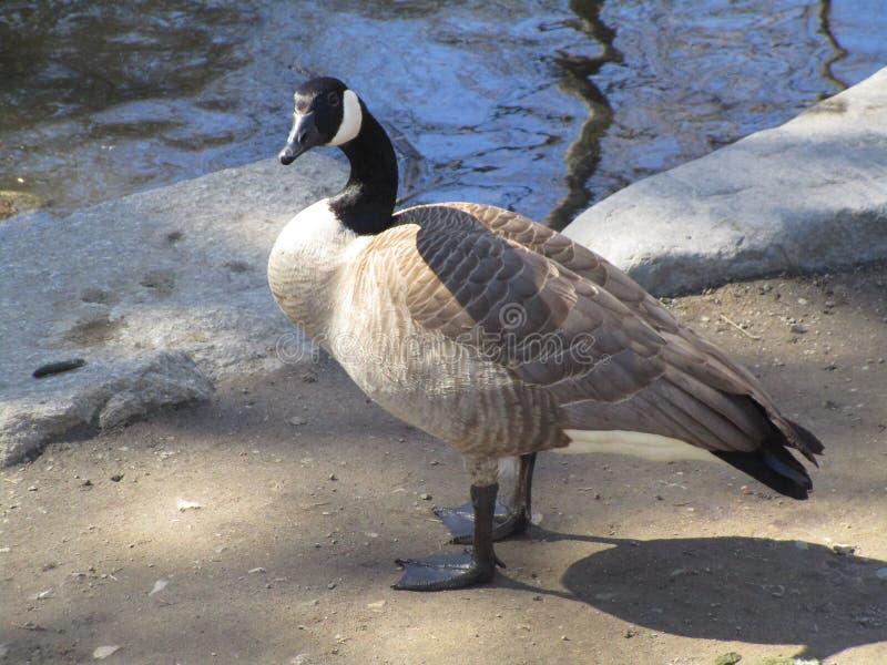 支持水的加拿大鹅画象接近2019年 免版税库存照片