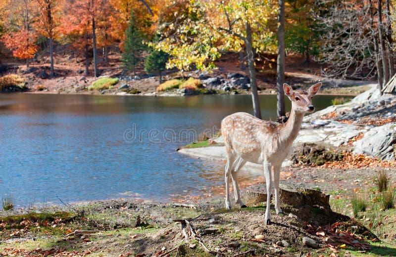 支持湖的小鹿 免版税库存照片