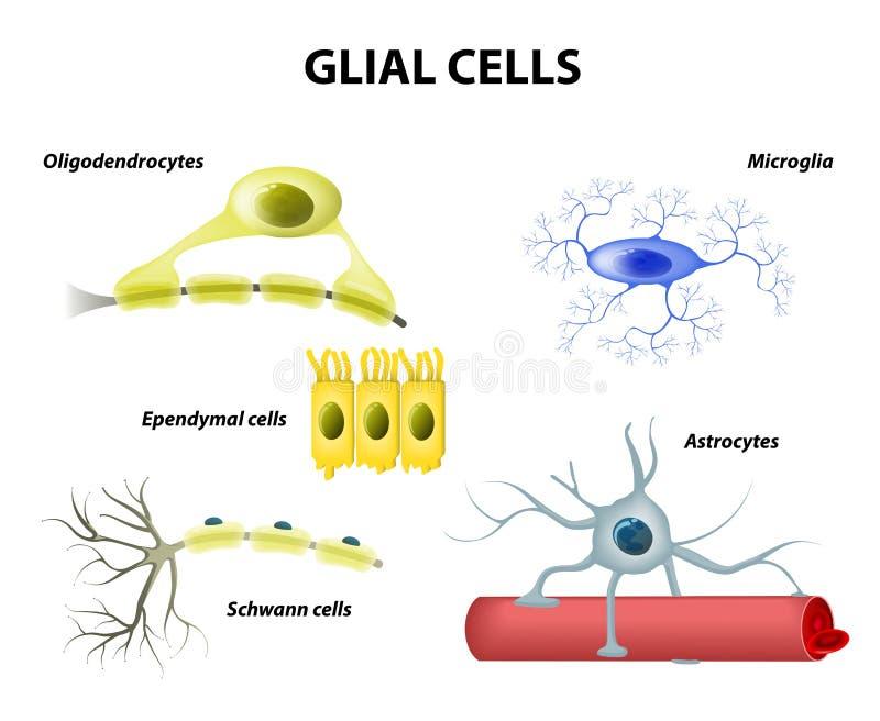 支持的细胞 神经胶质或神经胶质细胞 皇族释放例证