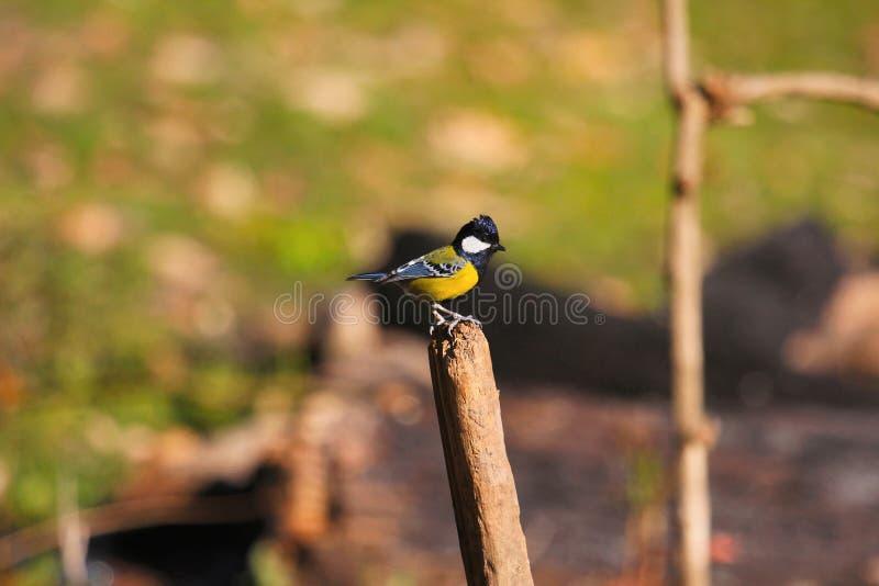支持绿色的山雀,帕鲁斯monticolus, Sattal, Uttarakhand,印度 库存照片