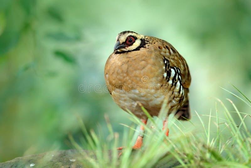 支持酒吧的鹧, Arborophila brunneopectus,鸟在自然栖所 坐在草的鹌鹑 在森林零件的鹌鹑 库存照片
