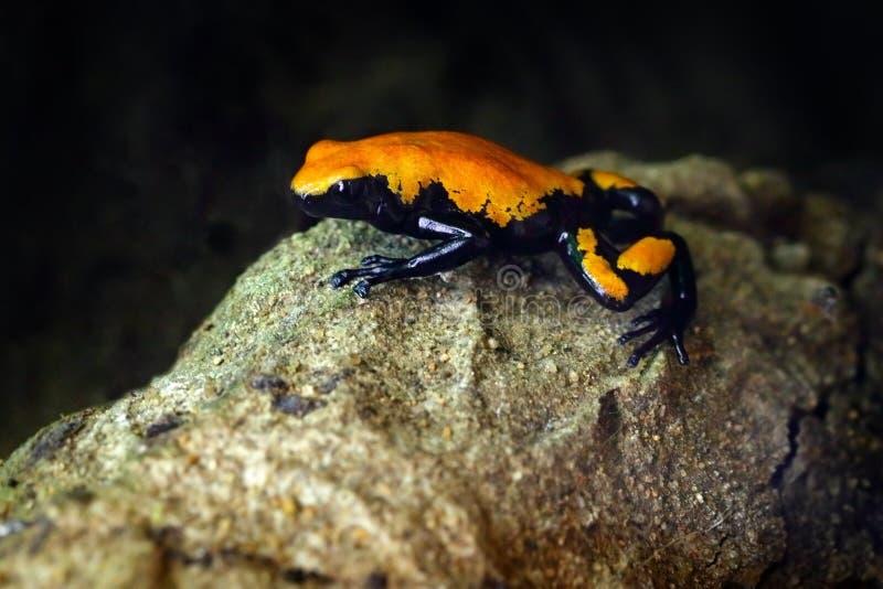 支持飞溅的毒物青蛙, Adelphobates galactonotus,橙色黑毒物青蛙,热带密林 小亚马逊青蛙,自然栖所 免版税库存照片