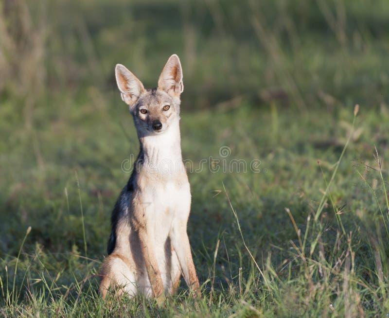 支持黑的狐狼,犬属mesomelas 库存图片