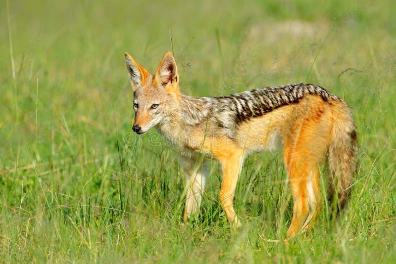 支持黑的狐狼,犬属mesomelas mesomelas,动物,坦桑尼亚,南非画象与长的耳朵的 美丽的野生生物scen 库存照片