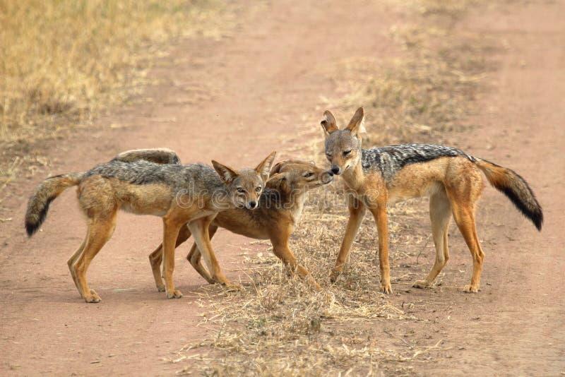 支持黑的狐狼家庭  免版税库存照片