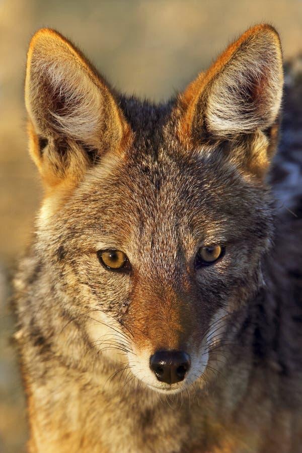 支持黑的狐狼-纳米比亚 免版税库存照片