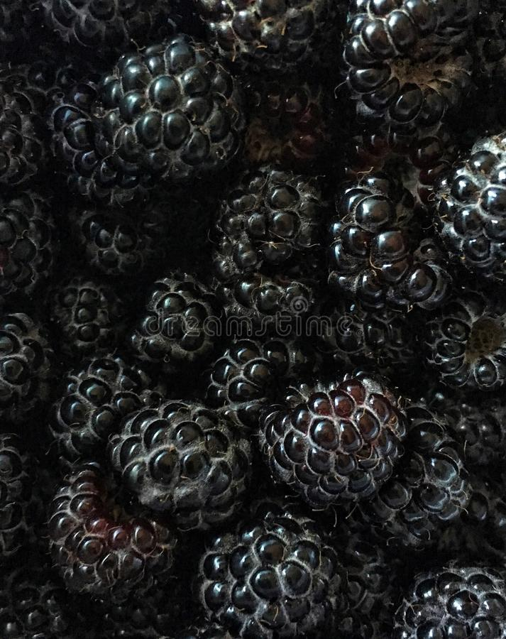 收割期:黑树莓关闭  库存照片