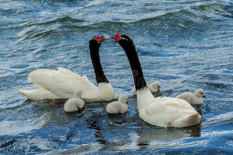 黑收缩的天鹅对 图库摄影