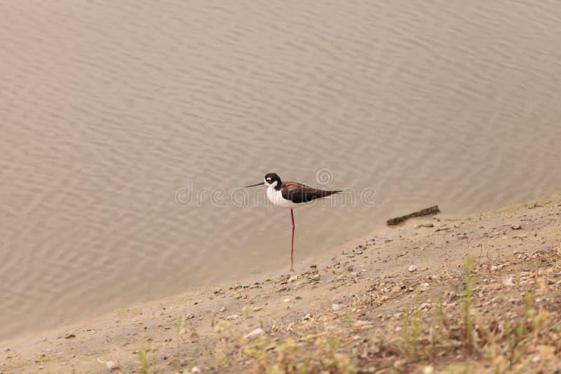 黑收缩的高跷, Himantopus mexicanus,滨鸟 库存照片