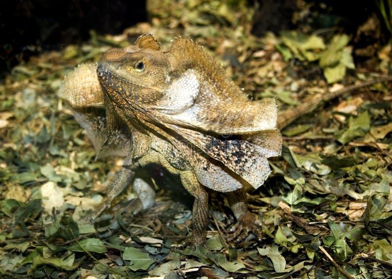 收缩褶边的蜥蜴 免版税库存图片