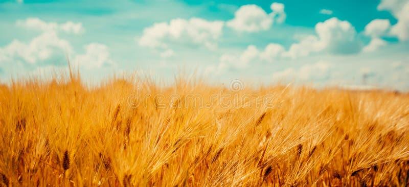 收获准备好成熟大麦庄稼领域 免版税库存照片
