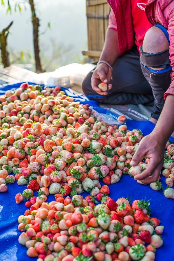 收获包装在领域的草莓蓝莓 免版税库存照片