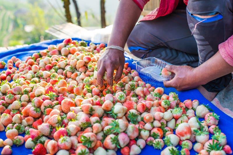 收获包装在领域的草莓蓝莓 库存照片