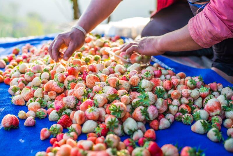 收获包装草莓蓝莓 图库摄影