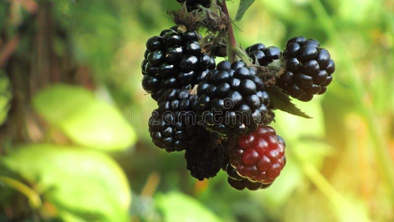 收获在一个晴天 在灌木的黑莓 免版税库存图片