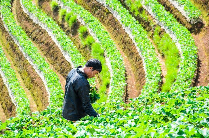 收获在草莓农场 免版税库存图片