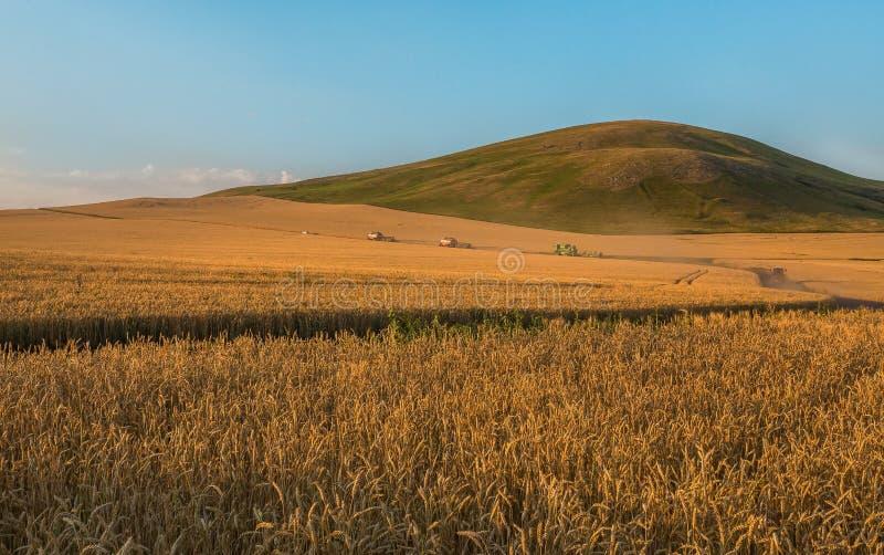 收获收割机移动向夜清洁 成熟的麦子 免版税库存图片
