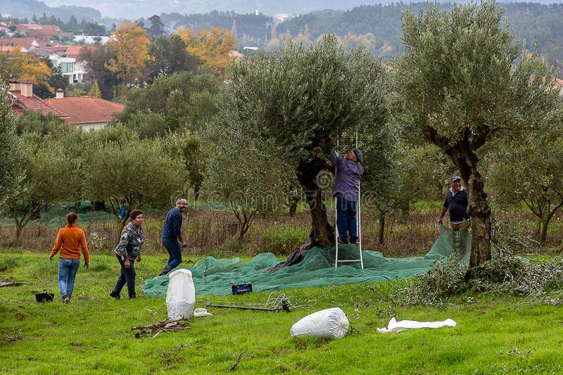 收获新鲜的橄榄的工作者 库存图片