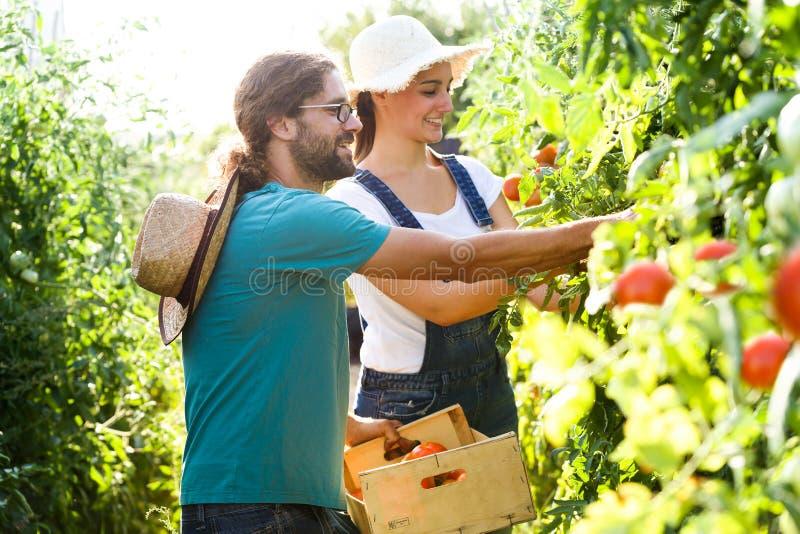 收获新鲜的蕃茄和投入在从庭院的一个篮子的园艺家夫妇 库存照片