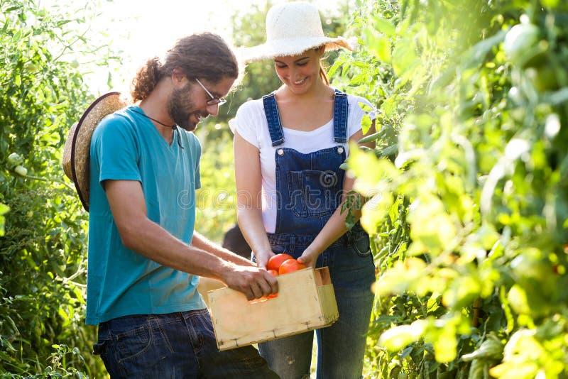 收获新鲜的蕃茄和投入在从庭院的一个篮子的园艺家夫妇 免版税库存图片