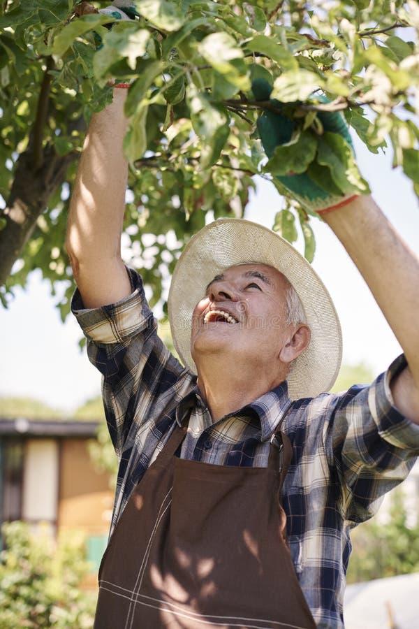 收获新鲜水果的老人 库存照片