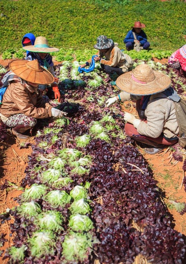 收获有机菜的工作者在农业种植园 库存图片