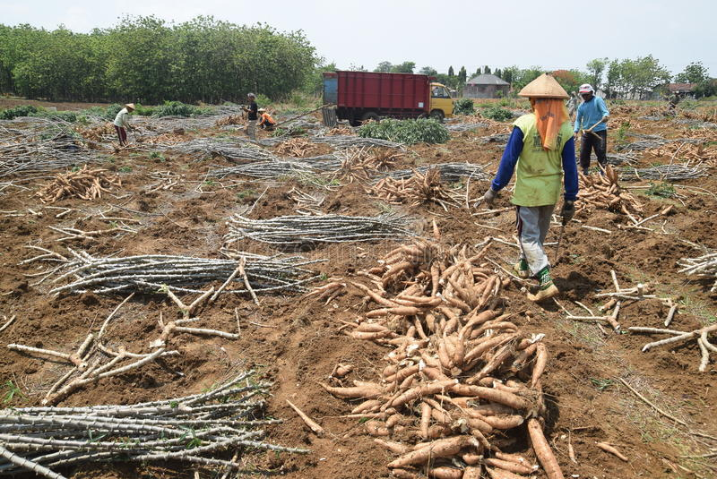 Download 收获木薯 图库摄影片. 图片 包括有 的treadled, 局部, 处理, 十一, 村庄, 木薯, 淀粉 - 62536352