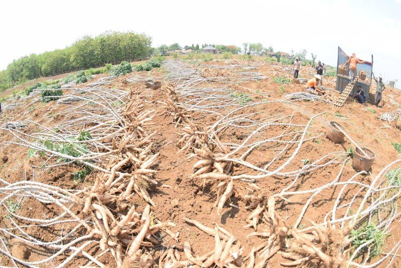 Download 收获木薯 编辑类图片. 图片 包括有 村庄, 印度尼西亚, 一些, 11月, 局部, 的treadled - 62536485