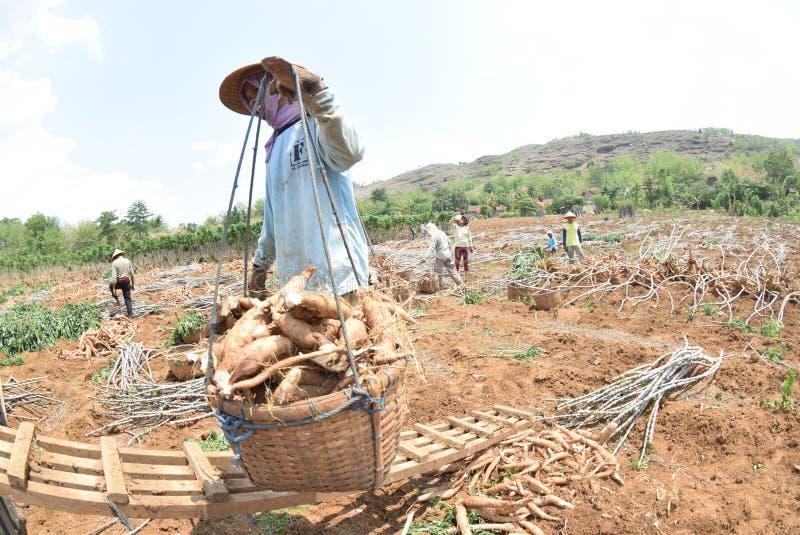 Download 收获木薯 编辑类库存照片. 图片 包括有 java, 11月, 局部, 淀粉, 印度尼西亚, 存款, 处理 - 62536938