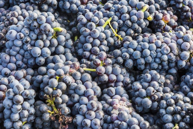 收获束黑比诺葡萄酒葡萄 库存图片
