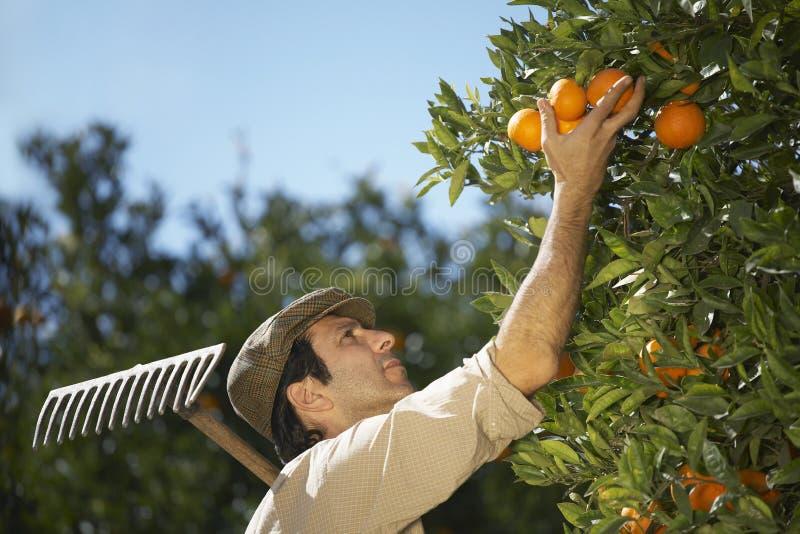 收获桔子的农夫在农场 免版税库存照片
