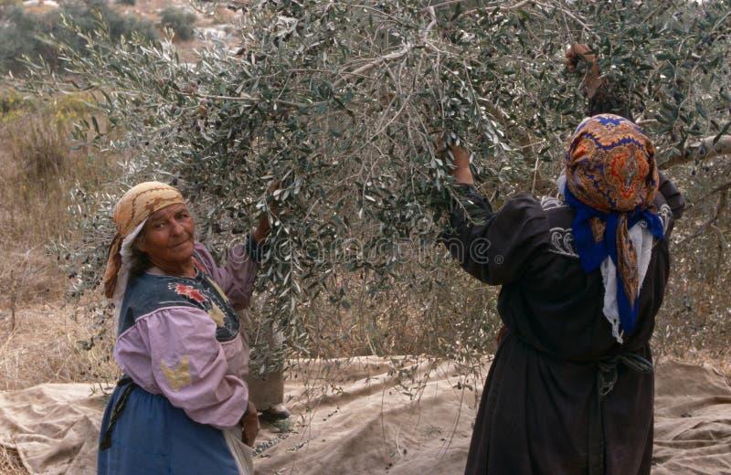 收获橄榄,巴勒斯坦的巴勒斯坦妇女 库存图片