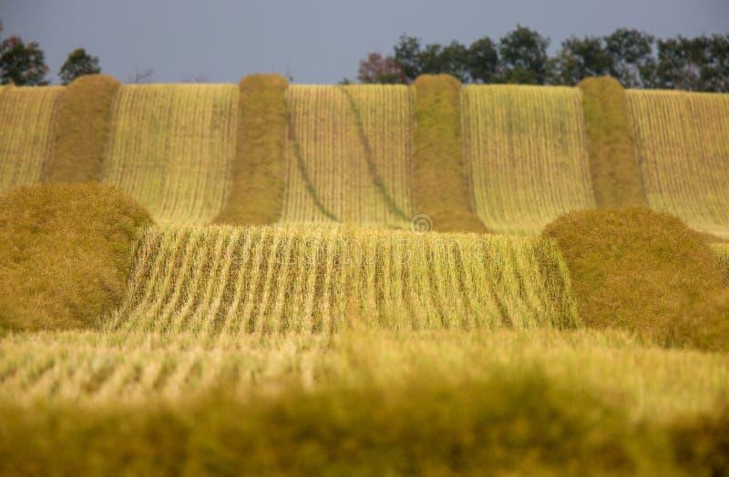 收获油菜一刈幅的草萨斯喀彻温省 库存图片
