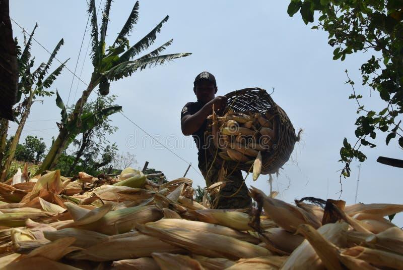 收获玉米 免版税库存照片