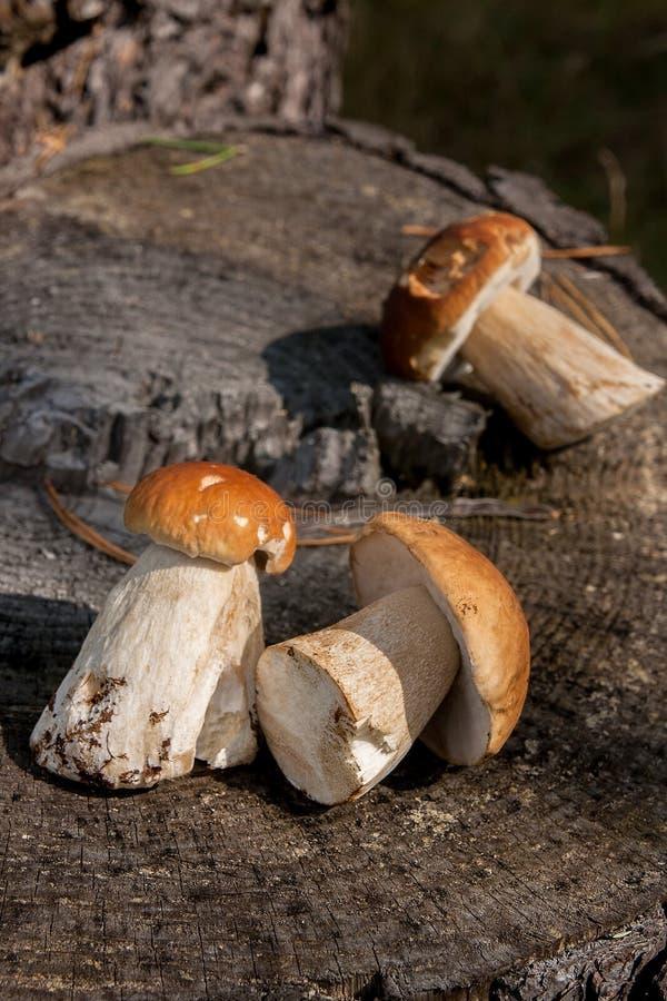 收获秋天使叫作porcini的可食蘑菇牛肝菌蕈类可食惊奇采蘑菇 小组可食的蘑菇的构成 库存图片