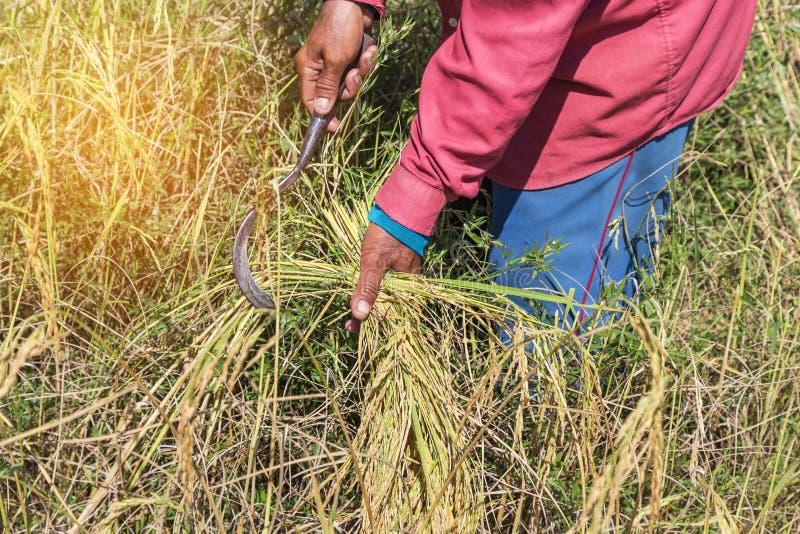 收获米领域的农夫由在稻田的镰刀 免版税库存图片